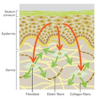 Intercellular2